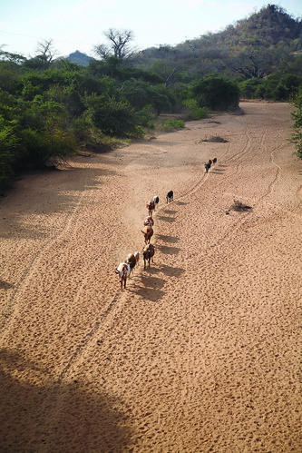 Cattle herd walks home along dry river bed in Tete Province, Mozambique