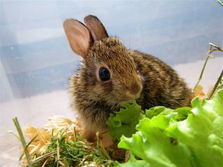Bunny Rehabber (Hoppity)