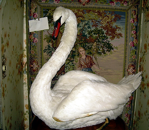 Taxidermied swan!