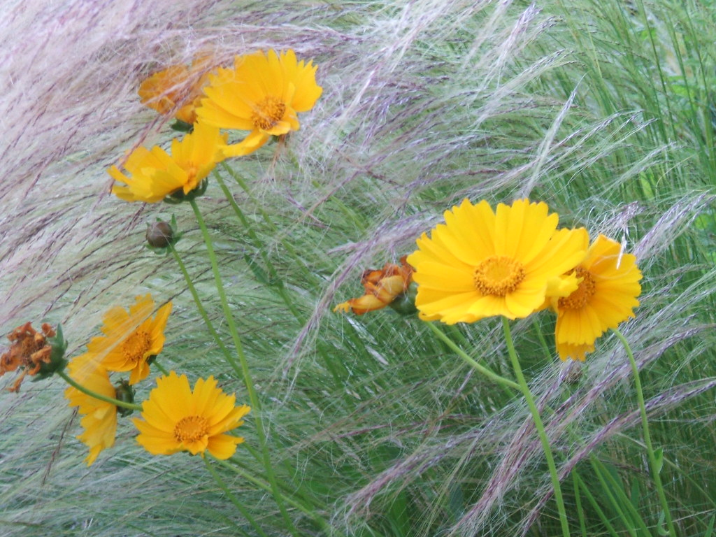 Coreopsis and Mexican Feather Grass (both self-seeded)