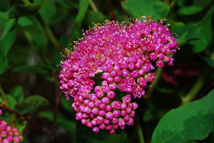 Subalpine spirea, Rose meadowsweet