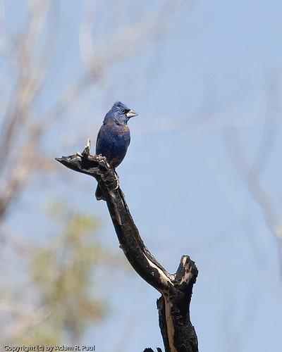 Blue Grosbeak by you.