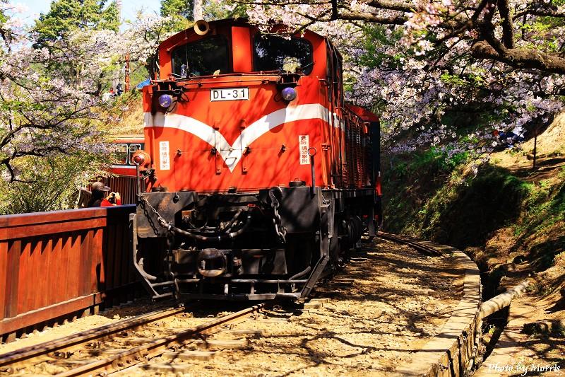 03C 阿里山櫻花季