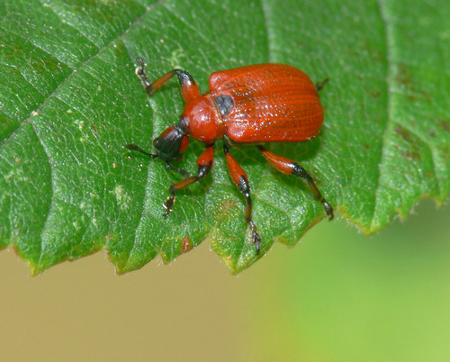 Hazel leaf-roller weevil (Apoderus coryli)