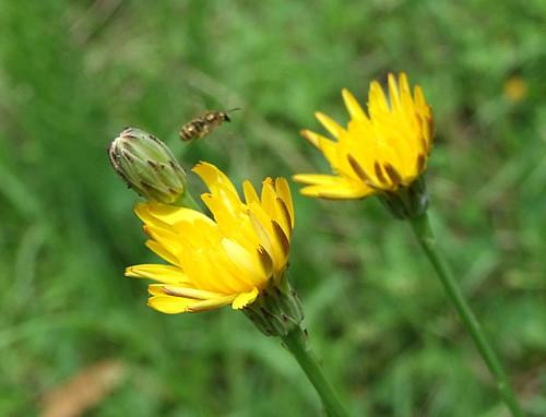ブタナとミツバチ~笹川流れ