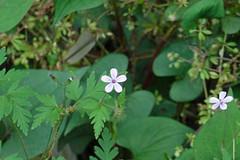 久田緑地の花(Flower, Kuden Ryokuchi, Kanagawa, Japan)