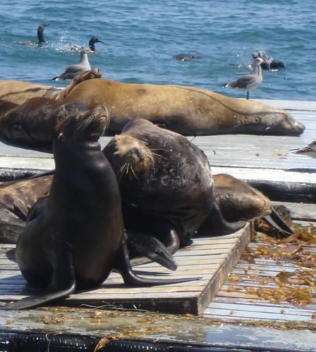 Sea Lions, Heermans Gulls, Even More Cormorants