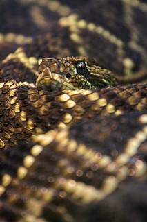 - Rattlesnake -