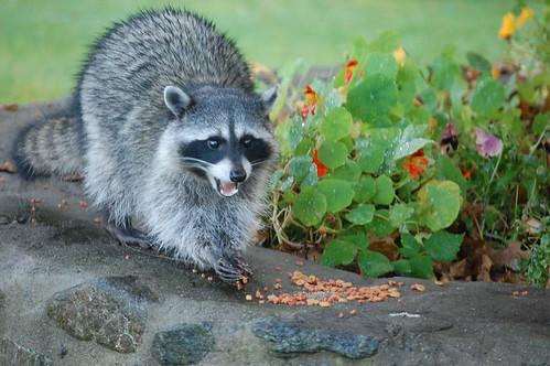 Bamfield raccoon