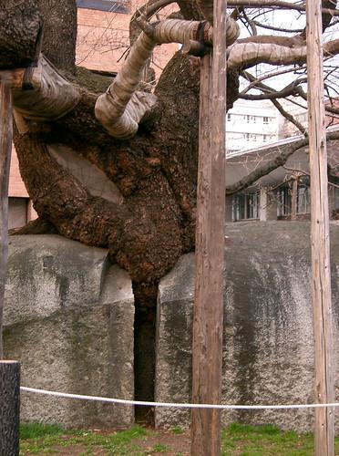 Ishiwarizakura, el cerezo poderoso, como atravesando una escultura de Chillida.