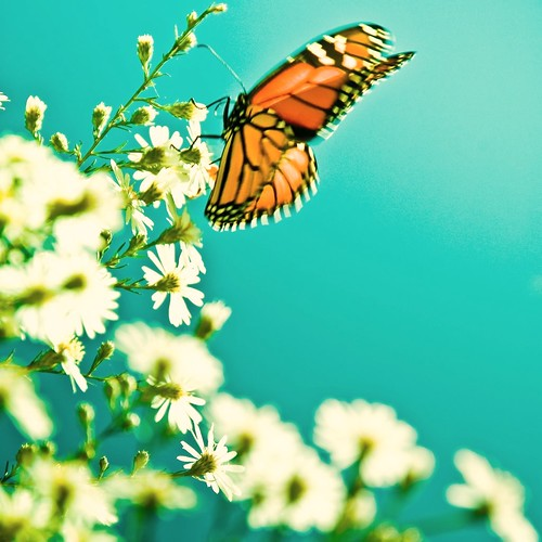 Cuba Gallery: Summer / white flowers / blue background / nature / color / macro / butterfly