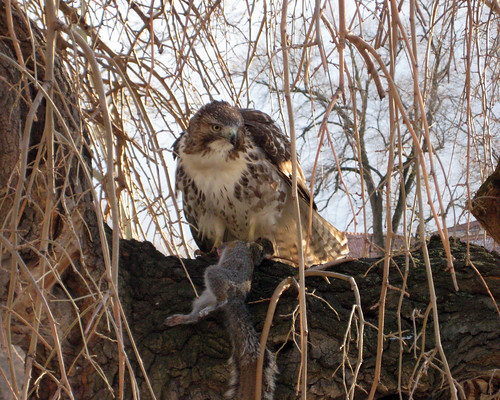 juvenile red-tailed hawk with squirrel 10
