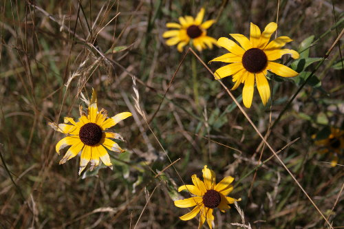 Weathered Black-eyed Susans