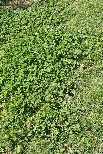 Clover invading the lawn
