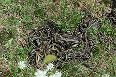 Garter snakes at the Narcisse snake dens, Manitoba. Flickr photo by James Sapara. Click for original.
