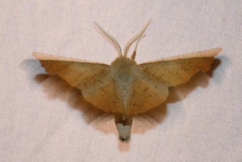 6797 - Ennomos magnaria - Maple Spanworm3
