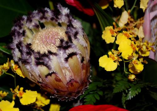 Protea Neirfolia