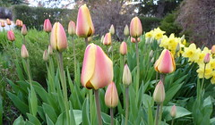 Tulips after they turn yellow pink. (photo 2/2)