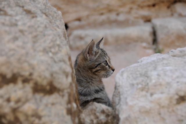Gato nabateo