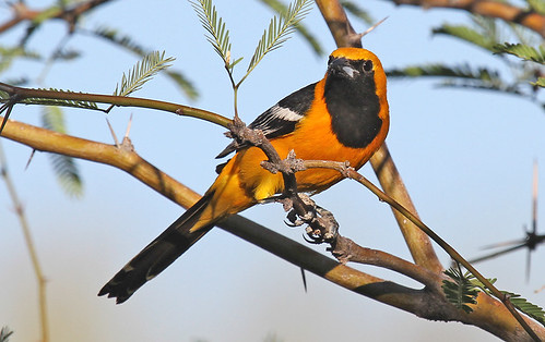 Male hooded oriole by SearchNetMedia