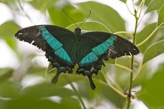 Butterflies in Carleton U