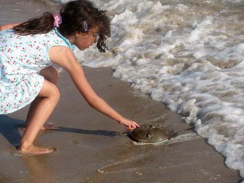 Touching a Horseshoe Crab