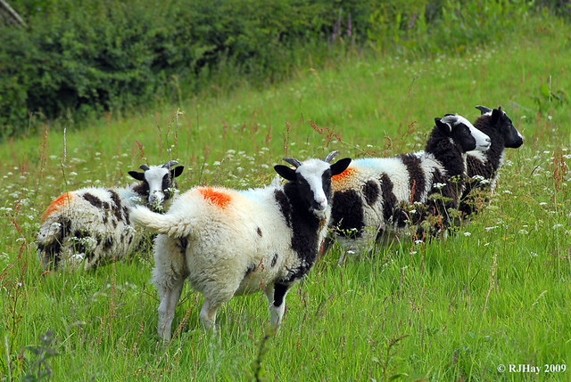 Sheep have had their colours done.