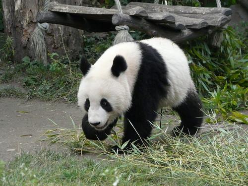 Panda Fu Long born 2007