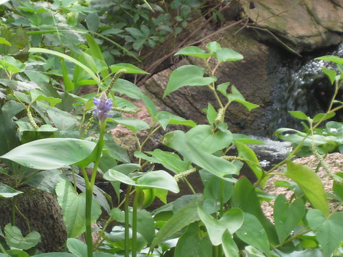 Pickerel weed bloom