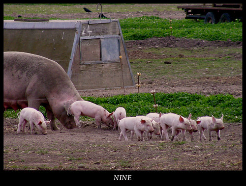 Nine little piggies