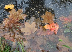 Leaves Under Water