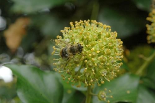 Eristalis similis, feeding