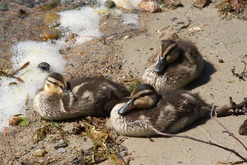 Orphan Ducklings