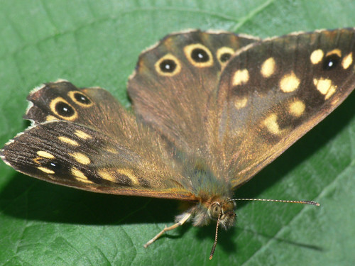 Speckled Wood (Pararge aegaria)
