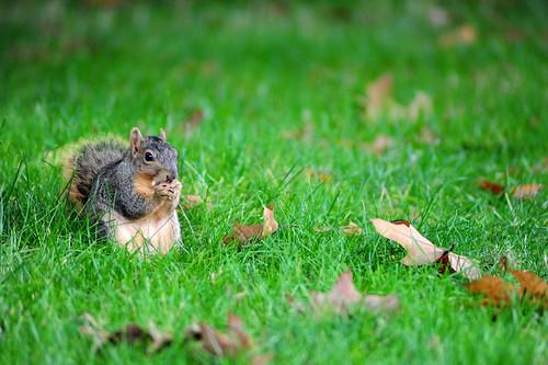 UO Campus Squirrel