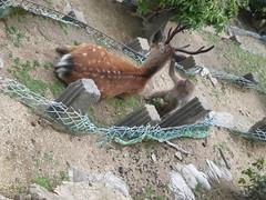 Monkey grooming deer, Miyajima