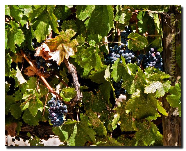 Grapes, Grapes, WINE