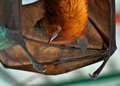 The Flying Fox {Pteropus}