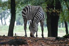 Grant Zebra in der Safari de Peaugres