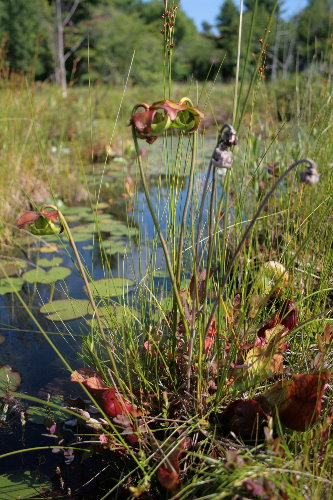 Pitcher Plant, Sarracenia purpurea