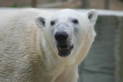 Eisbär Kap im Tierpark Neumünster