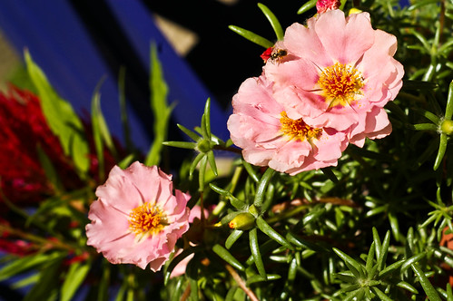 potted portulaca