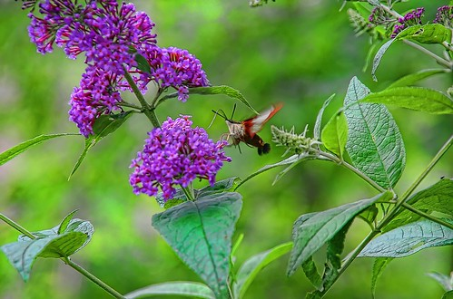Nectar and the Hummingbird Moth