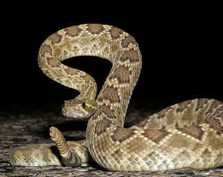 Mojave Rattlesnake, Texas