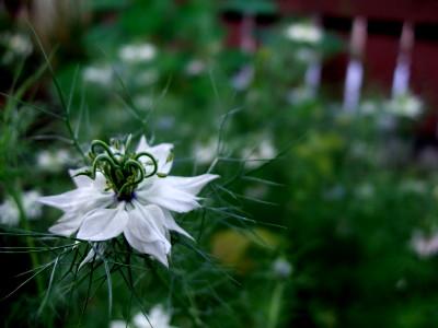 more nigella flowers