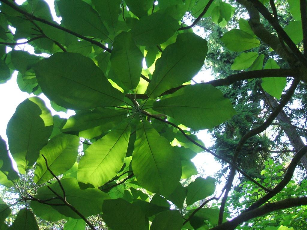 Magnolia macrophylla (Bigleaf magnolia)