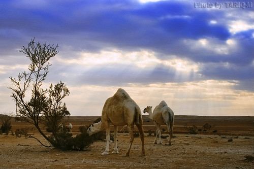 Camel HDR by TARIQ-M