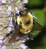 Large Bumble Bee taken with an Olympus SP-590UZ using a LUMIX close up lens P8230562