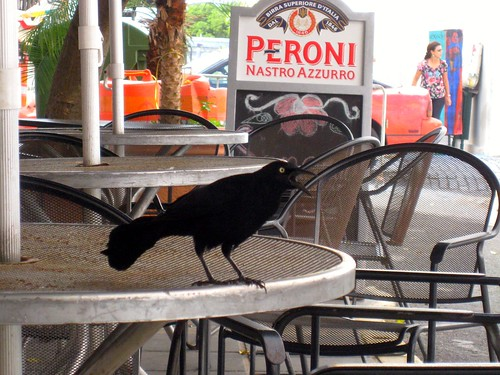 el chango the noisy grackle