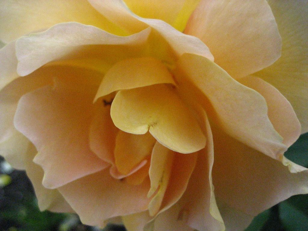 Rose Garden August 2009